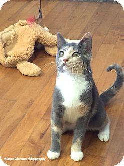 Domestic Shorthair Kitten for adoption in Homewood, Alabama - Janet Leigh