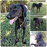 Adopt A Pet :: Zara - Bowie, MD