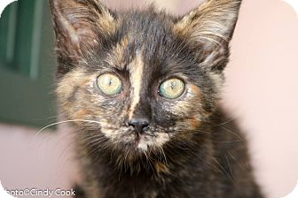 Domestic Shorthair Kitten for adoption in Ann Arbor, Michigan - Juliette Barnes