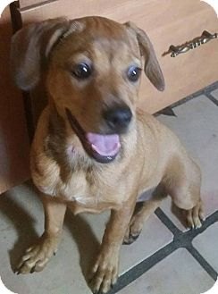 Labrador Retriever Mix Puppy for adoption in Ft. Lauderdale, Florida - Kaia