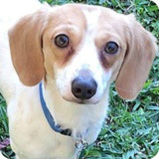 Dachshund Dog for adoption in Houston, Texas - Tiny Tim