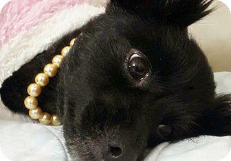 Spitz (Unknown Type, Small)/Pomeranian Mix Dog for adoption in Fairfax, Virginia - Isadora