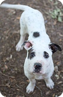 Pit Bull Terrier/Great Dane Mix Puppy for adoption in College Station, Texas - Aster