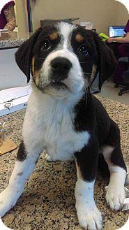 Bernese Mountain Dog Mix Puppy for adoption in Mesa, Arizona - Millie