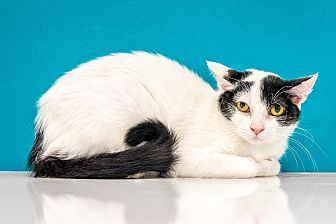 Domestic Mediumhair Cat for adoption in Chandler, Arizona - Lizzy