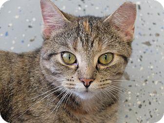 Domestic Shorthair Cat for adoption in Martinsville, Indiana - Deidra