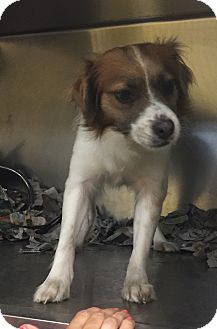Cavalier King Charles Spaniel/Papillon Mix Dog for adoption in Moosup, Connecticut - GYP
