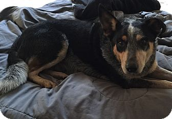 Australian Cattle Dog Mix Dog for adoption in Texico, Illinois - Talon