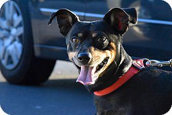 Chihuahua/Dachshund Mix Dog for adoption in Meridian, Idaho - Tiny Tim