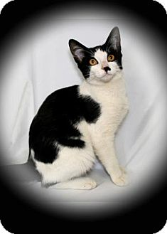 Domestic Shorthair Cat for adoption in Bradenton, Florida - Cardborad