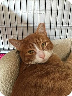 Domestic Shorthair Cat for adoption in Bloomingdale, New Jersey - Ginger Snap