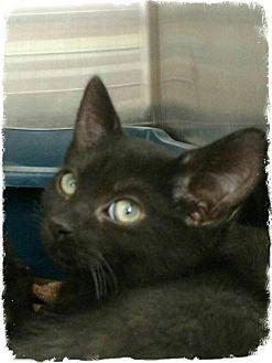 Domestic Longhair Kitten for adoption in Pueblo West, Colorado - Shalee