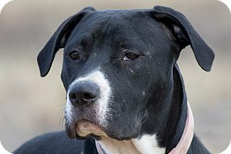Pit Bull Terrier Mix Puppy for adoption in Broken Arrow, Oklahoma - Shiloh