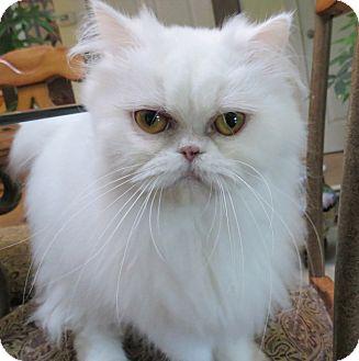 Persian Cat for adoption in Davis, California - Clara
