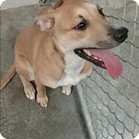 Adopt A Pet :: Kacey - Paducah, KY