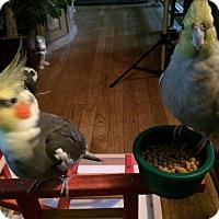 Adopt A Pet :: Pierrette & Harlequin - St. Louis, MO