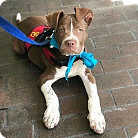 Adopt A Pet :: Pit Diddy - Los Angeles, CA