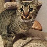 Domestic Shorthair/Domestic Shorthair Mix Cat for adoption in McDonough, Georgia - Barney Rubble