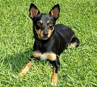Miniature Pinscher/Terrier (Unknown Type, Small) Mix Dog for adoption in Wilwaukee, Wisconsin - MINDY