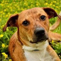 Adopt A Pet :: Taylor - Fort Smith, AR