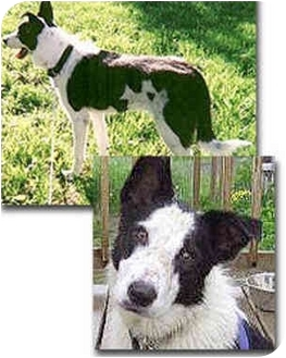 Border Collie Dog for adoption in Stephentown, New York - Chase