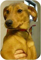 Vizsla Mix Puppy for adoption in San Clemente, California - ABIGAIL