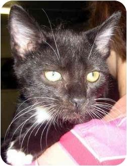 Domestic Shorthair Kitten for adoption in Overland Park, Kansas - Mac