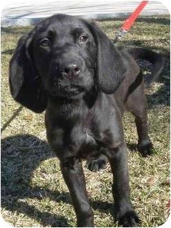 Cocker Spaniel/Hound (Unknown Type) Mix Puppy for adoption in Kingwood, Texas - Sally