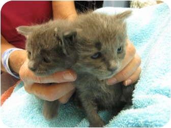 Domestic Shorthair Kitten for adoption in Houston, Texas - Carolina