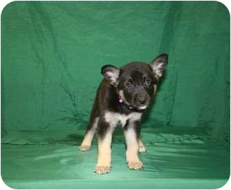 Shepherd (Unknown Type)/Border Collie Mix Puppy for adoption in Westminster, Colorado - ELVIRA