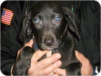 Labrador Retriever Mix Puppy for adoption in Sidney, Ohio - Bravo
