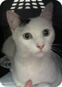 Domestic Shorthair Cat for adoption in Tampa, Florida - Oliver