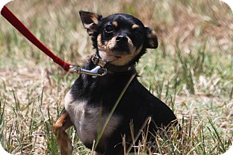 Chihuahua Mix Dog for adoption in McKinney, Texas - Swanson