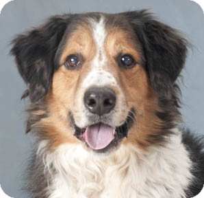 English Shepherd Dog for adoption in Chicago, Illinois - Michelangelo