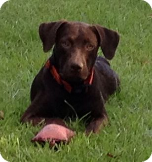 Labrador Retriever Mix Puppy for adoption in Tallahassee, Florida - Harley2