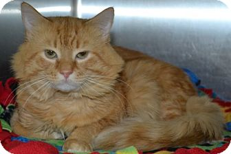 Domestic Longhair Kitten for adoption in Elyria, Ohio - King