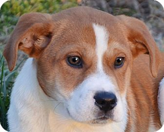 Labrador Retriever Mix Puppy for adoption in Washington, D.C. - Sarge