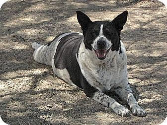 Cattle Dog Mix Dog for adoption in Sherman Oaks, California - Delilah