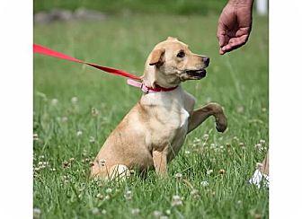 Labrador Retriever Mix Dog for adoption in Franklin, Indiana - EmmaLynn