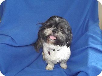 Shih Tzu Dog for adoption in Marshall, Texas - Rojo