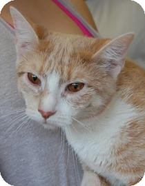 Domestic Shorthair Cat for adoption in Brooklyn, New York - Sparkles