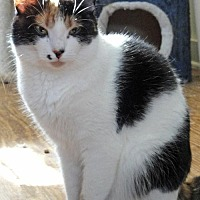 Domestic Mediumhair Cat for adoption in Devon, Pennsylvania - Caleigh
