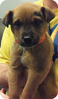 German Shepherd Dog/Norfolk Terrier Mix Puppy for adoption in Cave Creek, Arizona - Jade