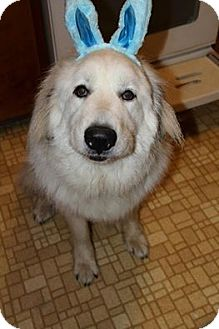 Great Pyrenees Dog for adoption in Lee, Massachusetts - Lou - NY 2014