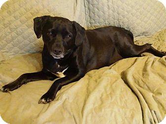 Labrador Retriever/Terrier (Unknown Type, Medium) Mix Dog for adoption in Essington, Pennsylvania - Molly