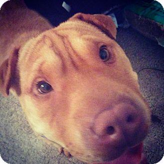 Shar Pei Mix Dog for adoption in Apple Valley, California - Kai in FL