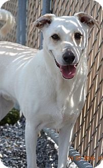 Labrador Retriever Mix Dog for adoption in Knoxville, Tennessee - T.J.