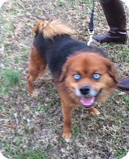 Chow Chow Mix Dog for adoption in Arlington, Tennessee - Milo
