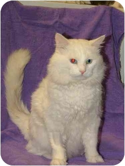 Domestic Longhair Cat for adoption in Winthrop, Massachusetts - Minty