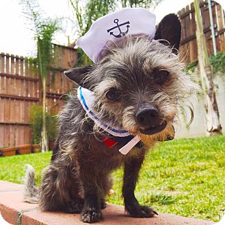 Yorkie, Yorkshire Terrier/Cairn Terrier Mix Dog for adoption in Los Angeles, California - Daffodil is A DOLL!!